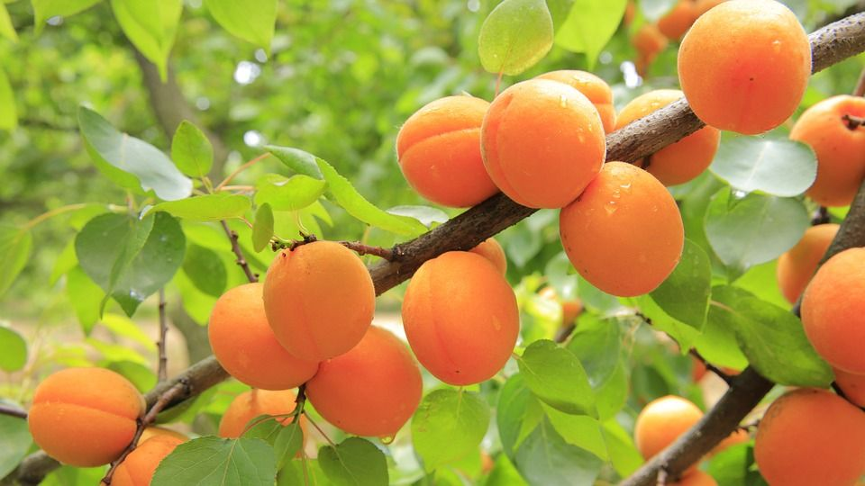 میوه های منطقه باغ ویلایی شهریار